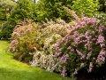 Вейгела цветущая Weigela  Styriaca  C2