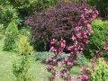 Veygela the blossoming Weigela Styriaca C4