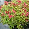 Вейгела цветущая Weigela middendorffiana C1,5