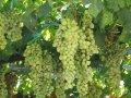 Виноград Vitis  Suwile  C1-1,5