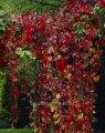 Виноград девичий пятилисточковый Parthenocissus quinquefolia var. engelmannii C1-1,5