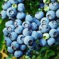 Highbush blueberry Vaccinium corymbosum Chandler C2