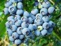 Голубика высокорослая Vaccinium macrocarpon  Pilgrim  C2
