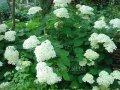 Гортензия  Hydrangea arborescens  Annabelle  C1,5-2