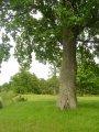 Oak chereshchaty Quercus rubra C15-25