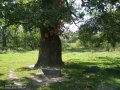 Oak chereshchaty Quercus rubra C8