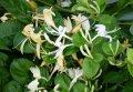 Honeysuckle of Lonicera nitida Lemon Beauty C2