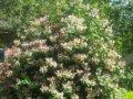 Жимолость Lonicera xbrownii  Dropmore Scarlet  C1,5