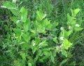 Goat willow Salix integra Hakuro-nishiki C3