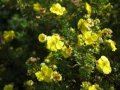 Лапчатка кустарниковая Potentilla fruticosa PRINCESS  Blink  C5