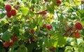 Малина Rubus fruticosus  Cacanska Bestrna  C2
