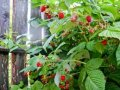 Малина Rubus fruticosus  Kiowa  C2