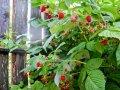 Малина Rubus idaeus  Glen Ample  C2