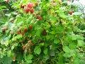 Малина Rubus idaeus  Polana  C2