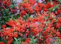 Пираканта ярко-красная Pyrus salicifolia  Pendula  C4