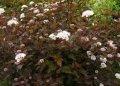 Пузыреплодник калинолистный Physocarpus opulifolius  Diabolo  PBR C1,5