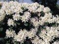 Рододендрон Rhododendron  Cunnigham s White  C5