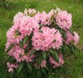 Рододендрон Rhododendron  MRS. NANCY DIPPEL  C4