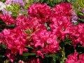 Рододендрон Rhododendron  Nova Zembla 50-60см