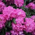 Рододендрон Rhododendron  Roseum Elegans  C5