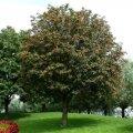 Рябина  Sorbus aucuparia C5-10