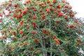 Рябина  Sorbus Autumn Spire  Flanrock  PBR C3-4