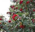 Рябина  Sorbus cashmiriana C12