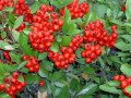 Рябина  Sorbus folgneri  Lemon Drop  C5-10