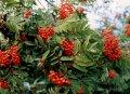 Spirea ryabinolistny Sorbaria sorbifolia Sem PBR C5