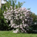 Сирень Syringa vulgaris  Primrose  C2