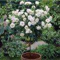 Шиповник  Rosa  The Fairy White  C1,5-2