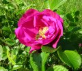 Rosa rugosa C1,5-2 dogrose