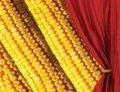 Семена кукурузы Фурио ФАО 350