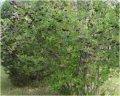 Sadzonki aronii