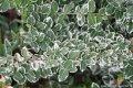 Бересклет  Euonymus oxyphyllus 120 – 140