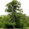 бук фото дерево