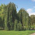Бук Fagus sylvatica Purpurea Tricolor  160 – 180