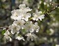 Вишня Prunus ×subhirtella Pendula Plena Rosea  160 – 180