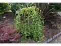 Вишня Prunus incisa FRILLY FROCK  Mattrilly    100 – 120