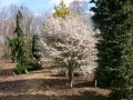 Prunus incisa Kojou-no-mai 100 - 120 cherry