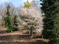 Вишня Prunus incisa Kojou-no-mai  100 – 120