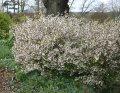Вишня Prunus incisa Kojou-no-mai  120 – 140