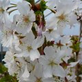 Prunus nipponica Brillant 40 - 60 cherry