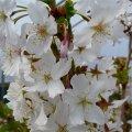 Вишня Prunus nipponica Brillant  40 – 60