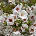 Вишня Prunus nipponica Ruby  160 – 180