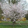 Вишня Prunus Pandora  200 – 220
