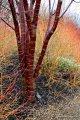 Вишня Prunus serrula 300 – 320