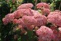 Гортензия  Hydrangea arborescens Annabelle  80 – 100