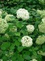 Гортензия  Hydrangea paniculataEARLY SENSATION  Bulk PBR 60 – 80