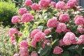 Гортензия  Hydrangea paniculataMAGICAL MOONLIGHT  Kolmagimo PBR 100 – 120